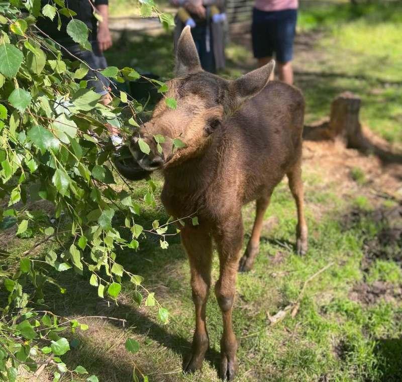 Aktivitäten in und um Bengtsfors: Die Dalsland Moose Ranch 2