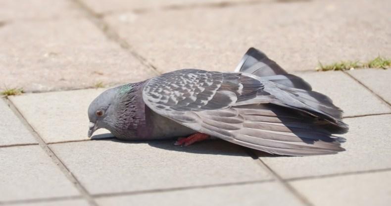 鳩も疲れる