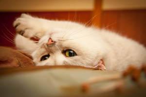 Сколько дней гуляет кошка с котом. В каком возрасте кошка начинает гулять, когда наступает половая зрелость
