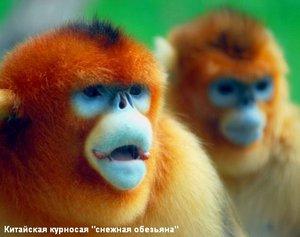 Японская макака. Обезьяна гамадрил или плащеносный павиан: картинки, описание животного, смешные фото и видео Обезьяна с большой попой