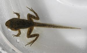 Отличие жабы от лягушки зеленые