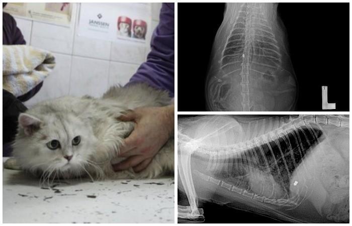 Метастазы в лгких у кота