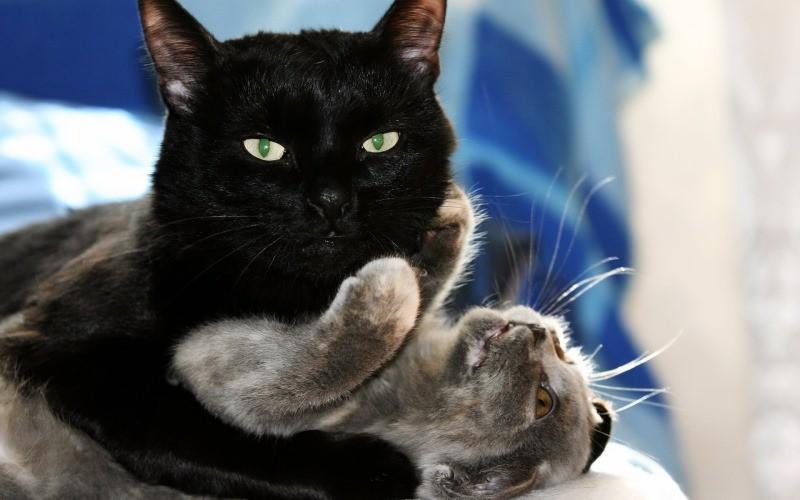 Крипторхизм у кошек. Что такое крипторхизм у котов и каковы способы лечения