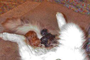 Роды у кошки: как, сколько по времени, что надо знать? Беременность и первые роды кошки: инструкция для владельцев от А до Я, видео