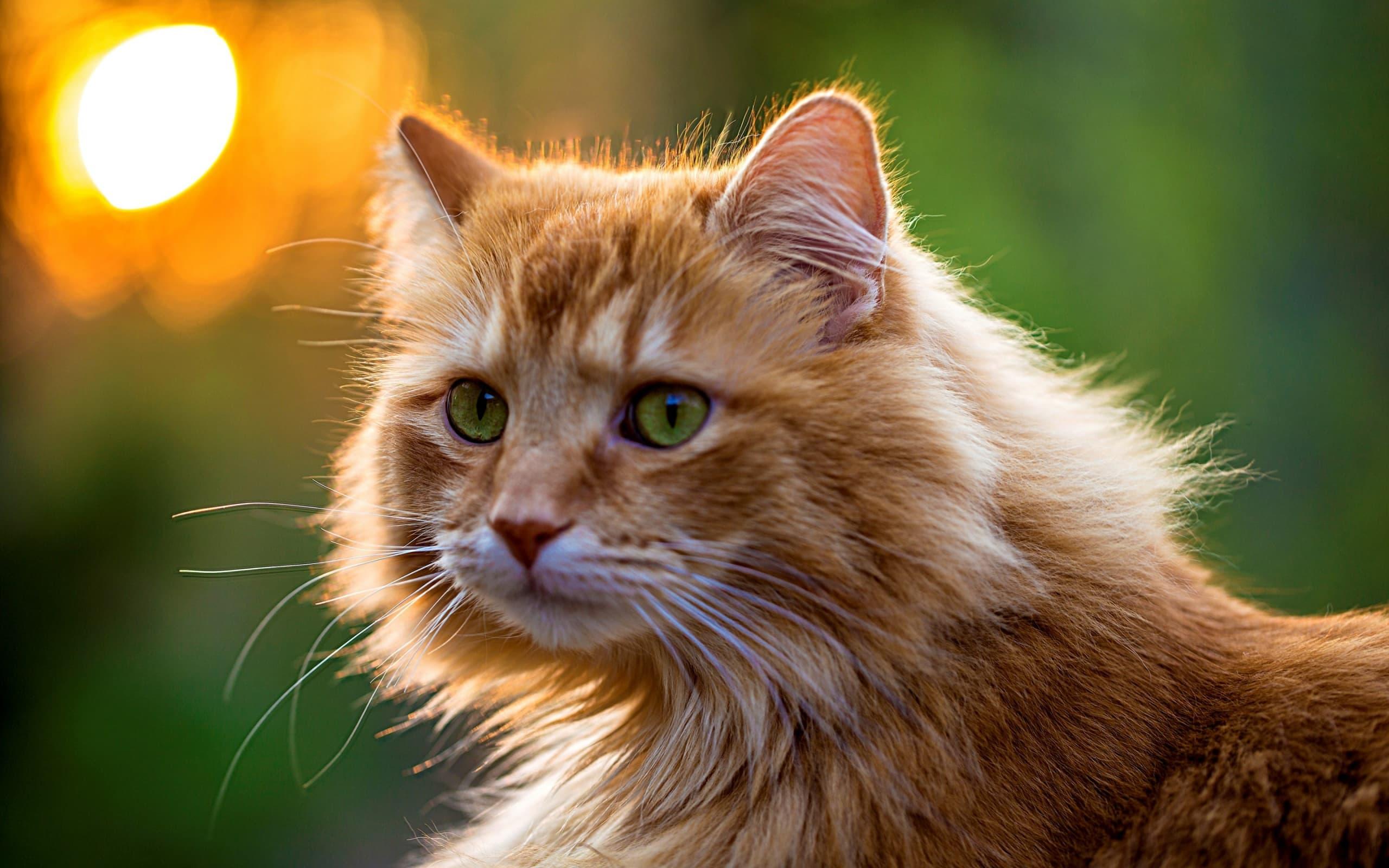 תסחיף דם  בחתולים