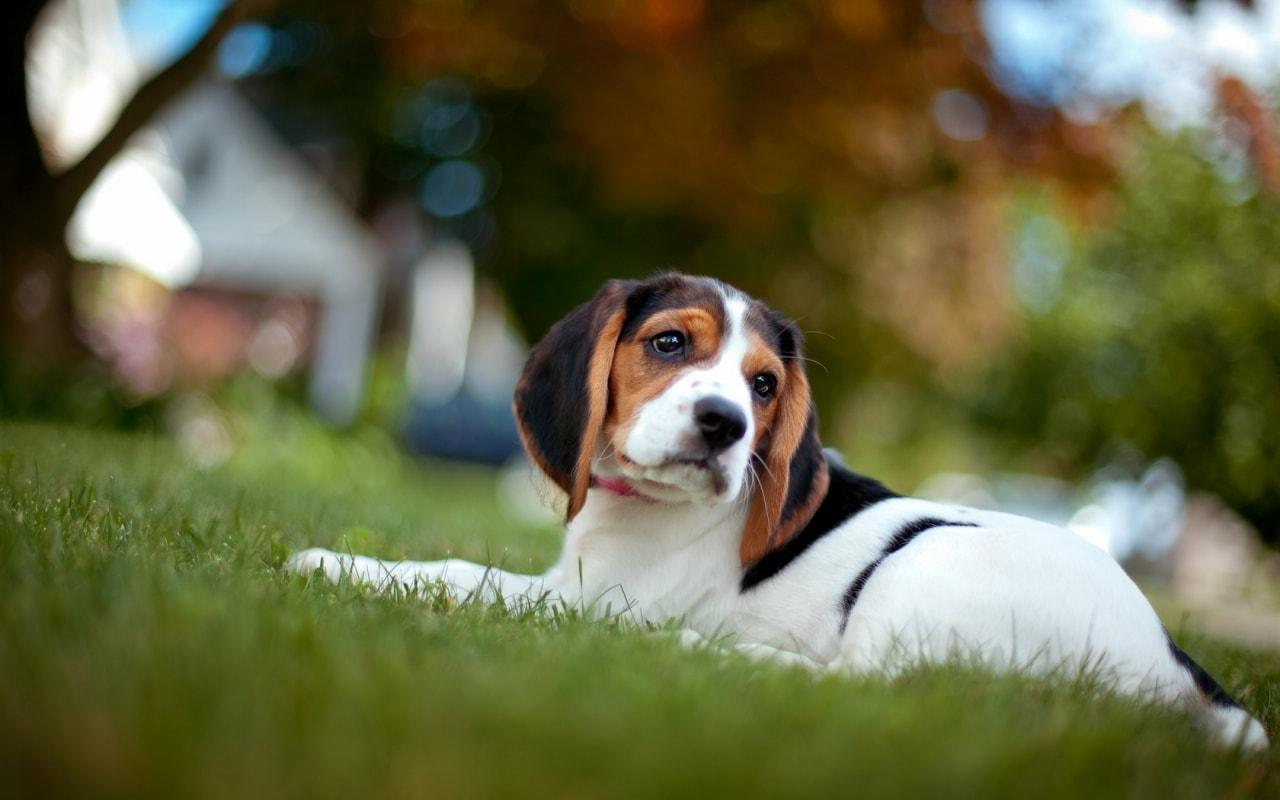 תולעת הפארק – תולעת הפארקים בכלבים