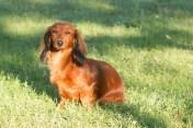 pes jazvečík