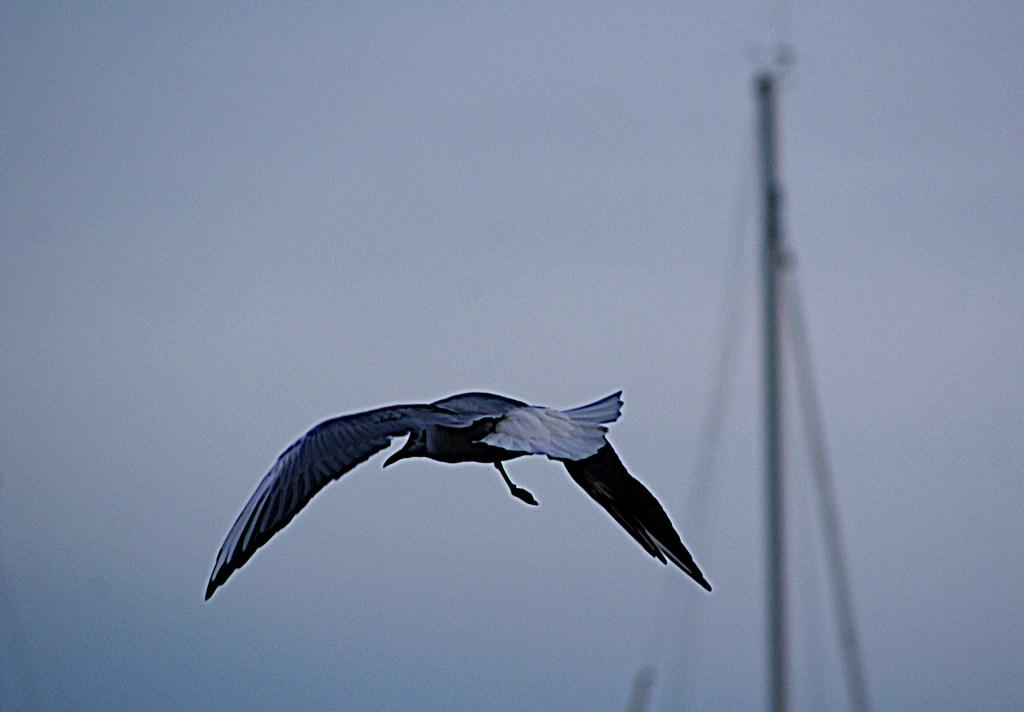 Möwe über Breege - Schöne Vögel