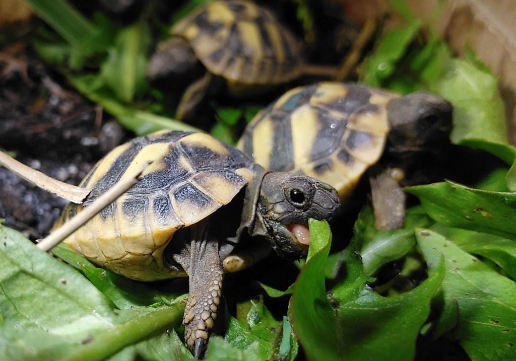 Haustiere -Babyschildkröten