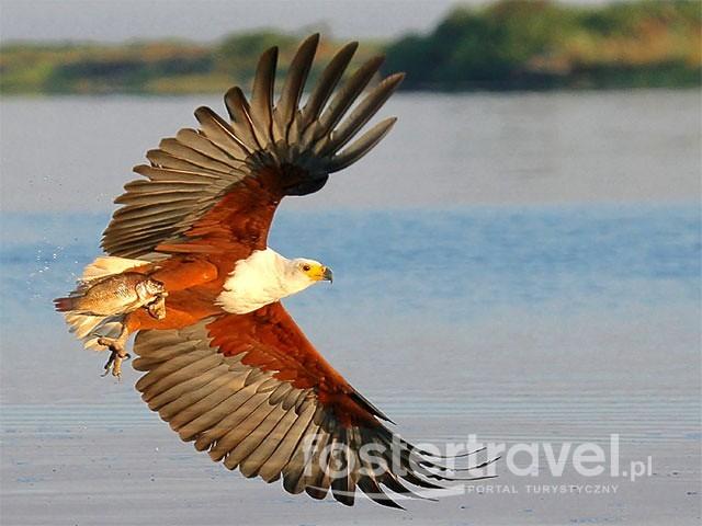 orzel-rybolow-w-parku-narodowym-chobe-botswana-46484