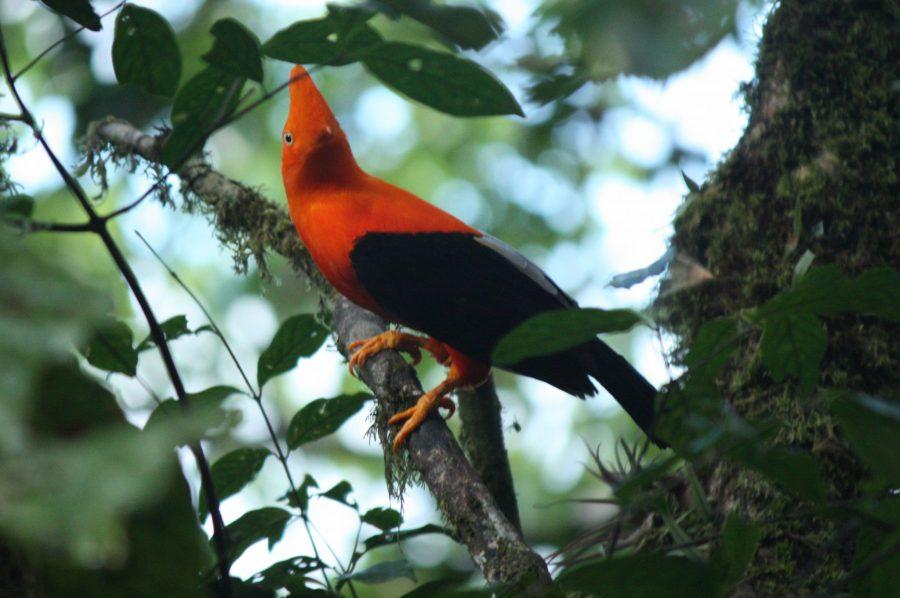 Ein Gallito de las Rocas im Yanachaga Chémillen Nationalpark auf dem Weg von Oxa nach Pozuzo. der Felsenhahn ist der Nationalvogel Perus.