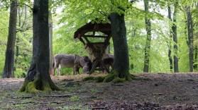 Esel fressen gemütlich ihr Heu