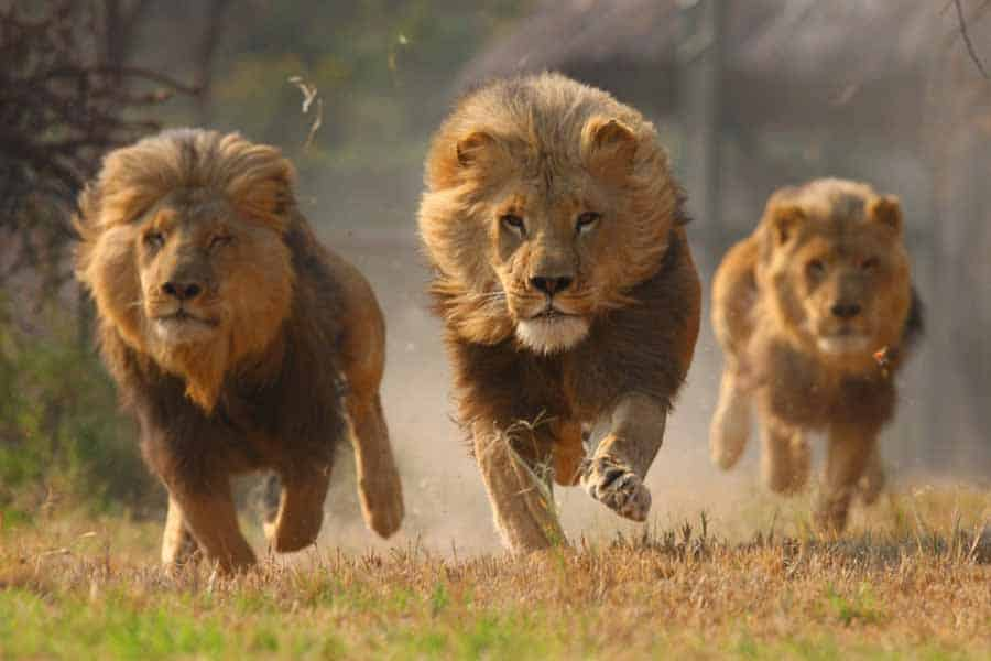 Stray lions terrorize Victoria Falls communities, villagers losing cattle and goats