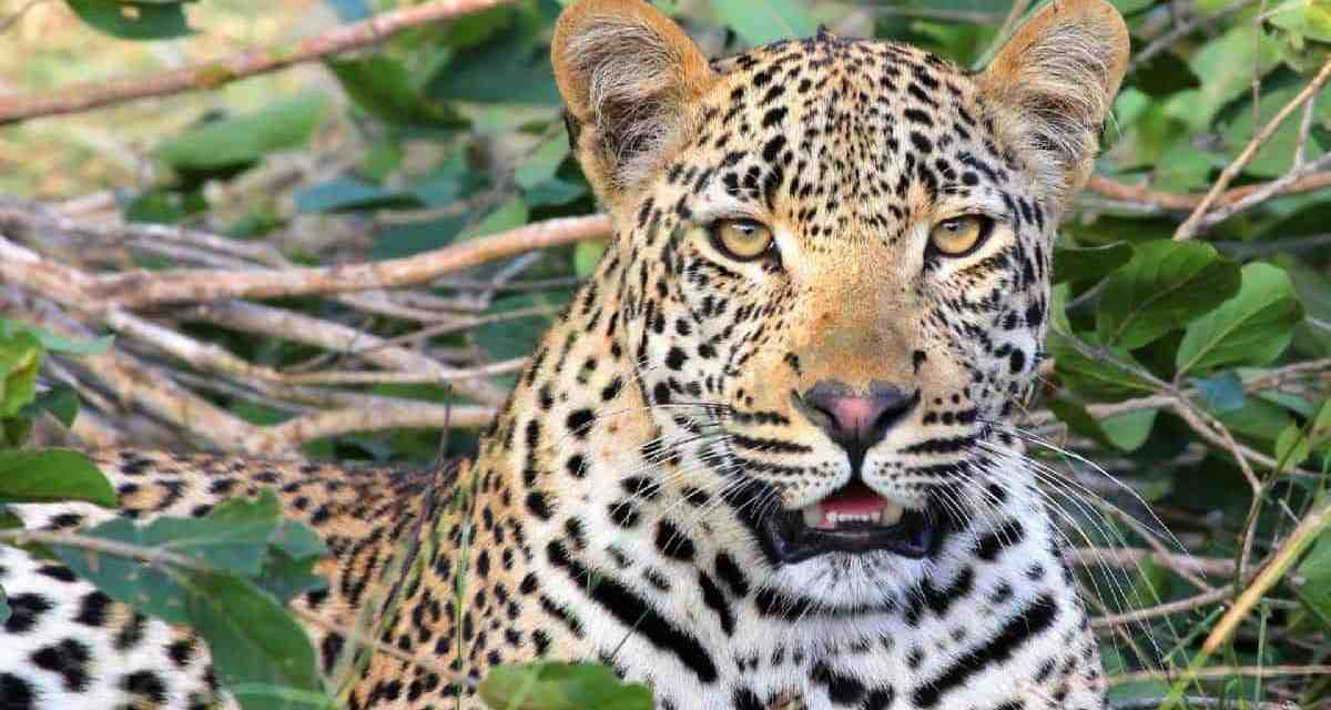 HWANGE: Villager who Wrestled and killed Vicious Leopard fined US$20 000