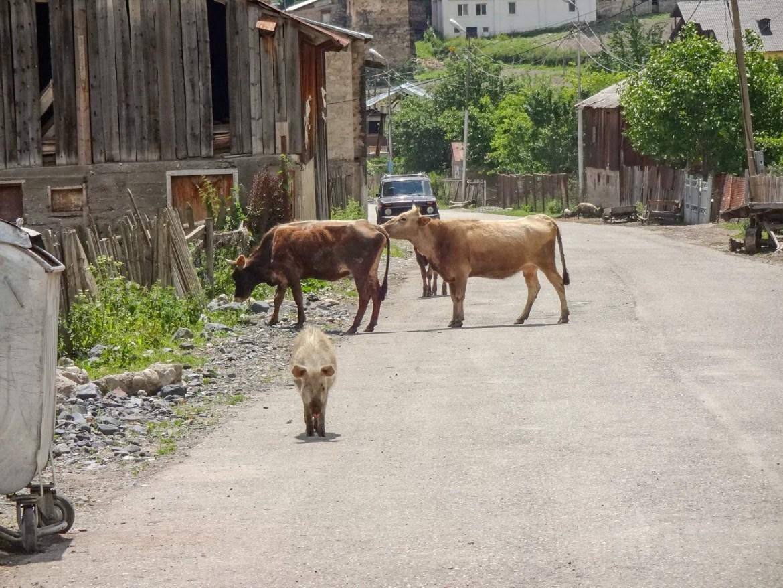 Zwierzęta na drodze Mestia Gruzja Swanetia co zwiedzić w Gruzji