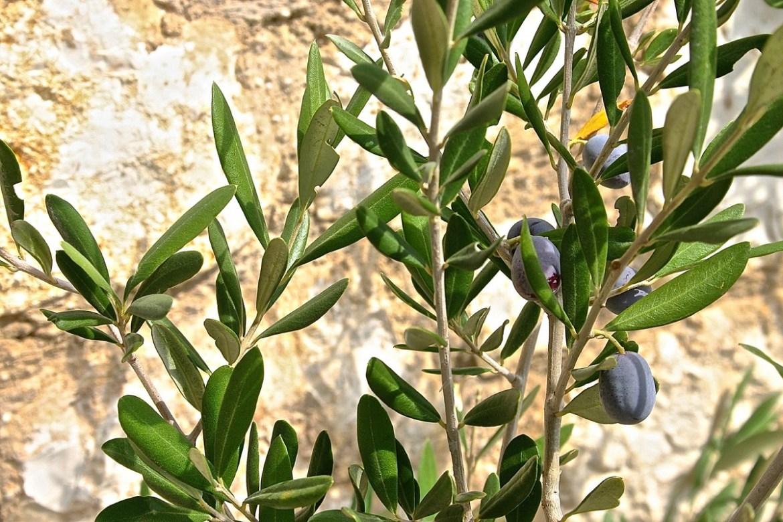 korfu oliwki