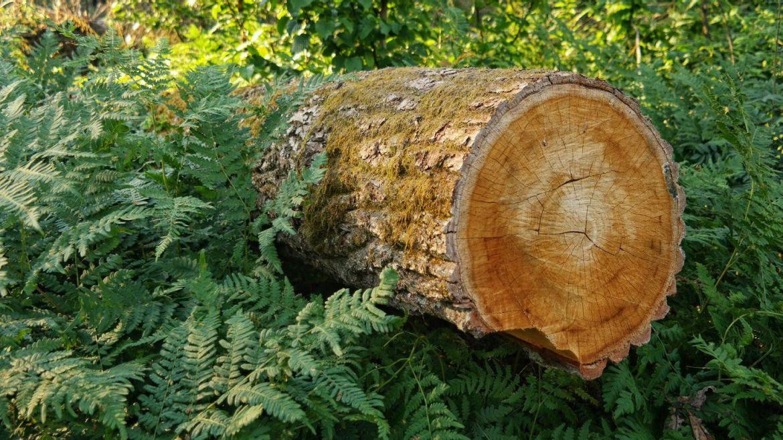 Las Białowieża Puszcza
