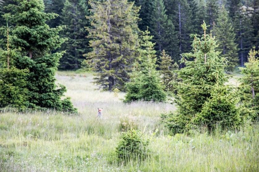 Lis przy Polanie w Karkonoszach