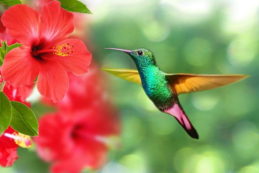Biodiversidad. Colibrí hibisco