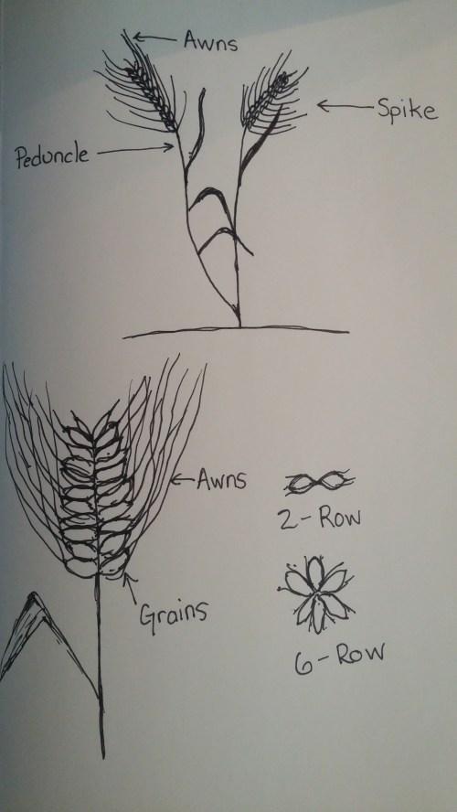 small resolution of basic barley